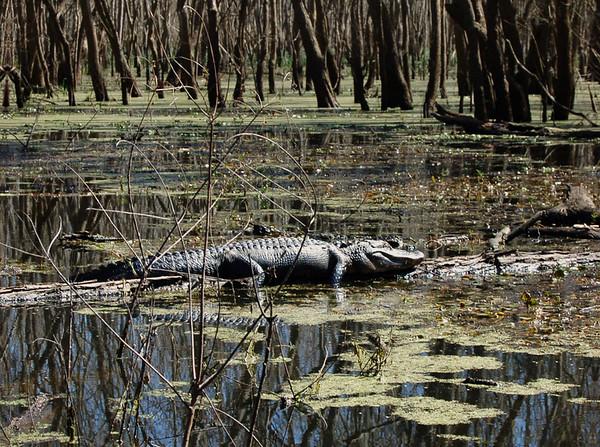 Brazos Bend State Park, Texas 2007